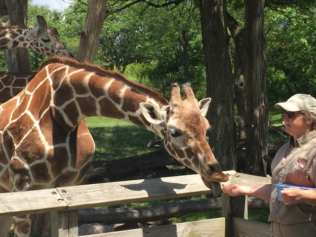 Feeding time for the giraffes at the Indianapolis Zoo. Photo by Melody Pittman