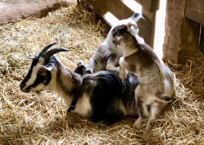You may get lucky and see animal babies on your visit to the encounters barn at Conner Prairie.